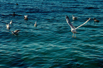 Seagulls are on and  over sea waters