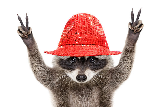 Portrait of a funny raccoon in a red hat, showing a sign peace, isolated on white background