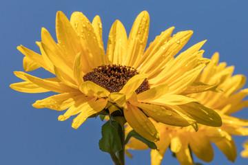 Sonnenblumen am meer