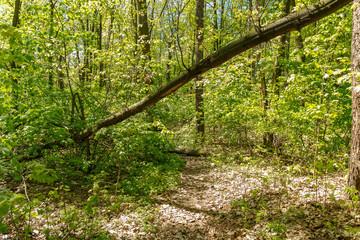 Fallen broken tree