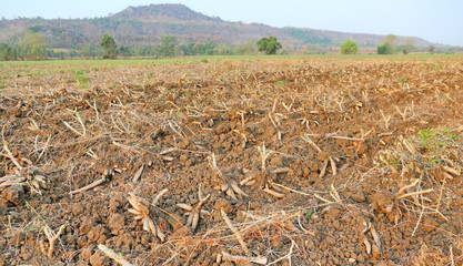 Cassava plantation and harvest in Thailand