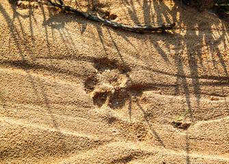 Fresh lion tracks on the ground at Kruger National Park