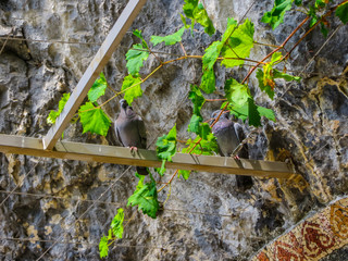 a pair of pigeons who made a nest on a grape in the monastery of Saint Basil in Montenegro.