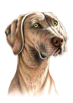 Weimaraner dog pet portrait