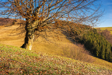 leafless beech tree on hill. brown foliage on the ground. sad autumn scenery on a sunny day.