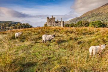 Scottish Blackface Rams at Kilchurn Castle, Argyll and Bute, Scotland