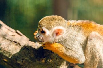 Photo sur Aluminium Singe Simiri. Squirrel monkeys.