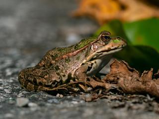 Frosch sitzend vor Teich mit Blatt