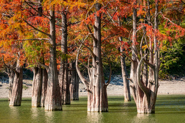 The trunks of moss cypresses are completely unique in their beauty and texture. A group of swamp cypress Taxodium distichum in a lake in Sukko, near the resort town of Anapa. Nature concept for design