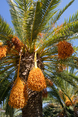 greek fruits of phoenix dactylifera palm tree, date palm, with blue sky background