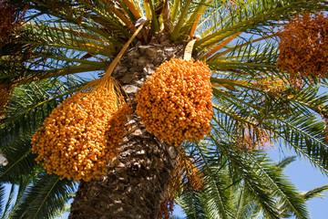 closeup greek fruits of phoenix dactylifera palm tree, date palm, with blue sky background