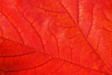 Maple leaf close-up.