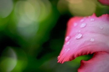 Close up of Pink bignonia flowers on background,Azalea flowers on a tree with water drops and bokeh background, space for copy word to create postcard