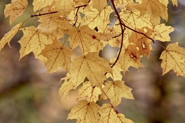 Beautiful golden maple leaves on a branch hanging down from a tree, closeup, Autumn