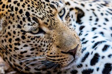 Printed kitchen splashbacks Panther Ravenscourt Male Leopard