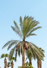 Date palms against blue sky.