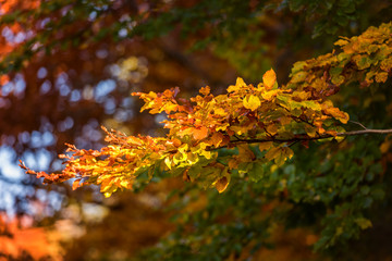 Autumn abstract background with yellow leaves on the tree branch in sunlight