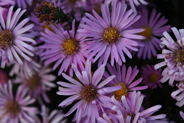 Summer purple lilac flowers background
