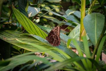 butterfly in nature - Siproeta stelenes (malachite) -