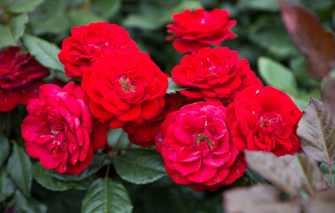Red color roses with green leaves bloom in rose garden
