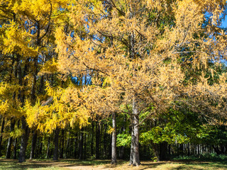yellow larch grove lit by sun in urban park