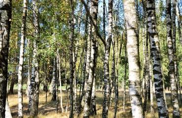 Birkenstämme ( Betula )