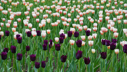 Tulip fileld with purple and pink flowers