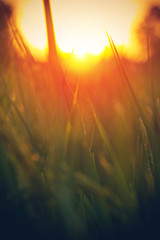 Fototapete - Blurred rice field backgrounds with sunlight