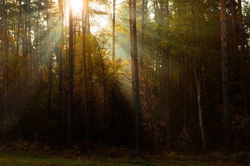 Papiers peints Forets Sunny rays in morning forest. Sunlight between pines. Beautiful landscape