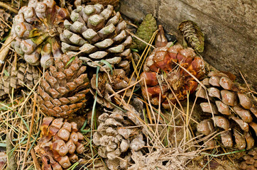 background with pinecone