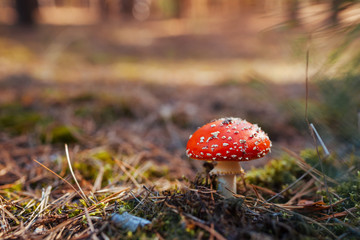 Fly-agaric growing in autumn forest. Close up