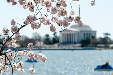 Intentional blurred background of the Jefferson Memorial on the Washington DC Tidal Basin. Focus on Cherry Blossom flower trees
