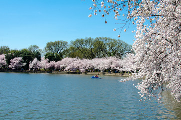Tidal Basin in Washington DC with a paddleboat and Cherry Blossom trees in full bloom
