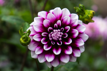 Deurstickers Dahlia purple and violet dahlia in garden
