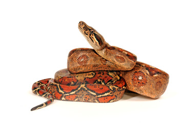 Kaiserboa (Boa constrictor imperator) - red-tailed boa