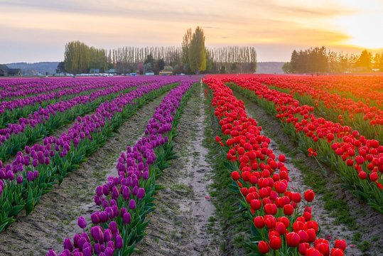 Purple and red rows of tulips in Washington state