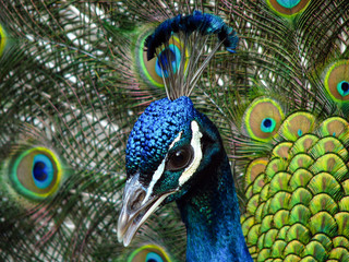 Close up of Male Peacock Head and Feathers