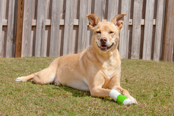 Dog recovering with injured paw