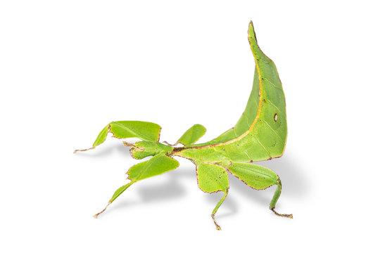 Female leaf insect (Phyllium ericoriai)
