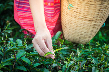 Woman hands holding young green tea leaves on hill in the morning with sunrise ray, agricultural tree plantation.