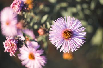 light purple autumn flowers