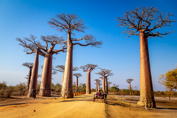 In de dag Baobab Horse cart on the Avenue of the Baobabs near Morondova, Madagascar.