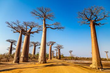 Printed roller blinds Baobab Avenue of the Baobabs near Morondova, Madagascar.