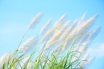 Reed flower with blue sky background