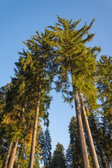 Coniferous trees with view from below
