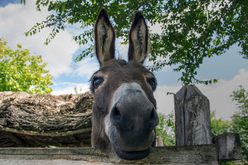 Countryside, Serbia - Portrait of a donkey