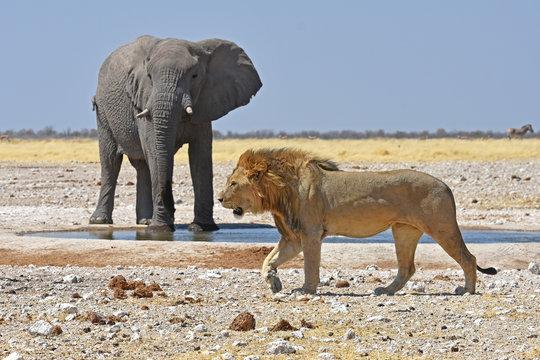 Elefantenbulle (loxodonta africana) und männlicher Löwe am Wasserloch Gemsbokvlakte im Etosha Nationalpark in Namibia