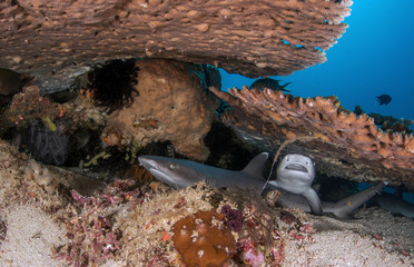 The Whitetip Reef Shark, Triaenodon Obesus.
