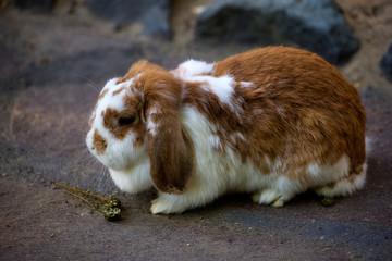 Full body of white-brown domestic pygmy rabbit