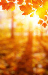 Autumn leaves on the sun and blurred trees